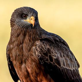 Jakkalsvoël by Adriaan Vlok - Animals Birds ( bird, hawk eys, brown hawk, hawk, bird eye,  )
