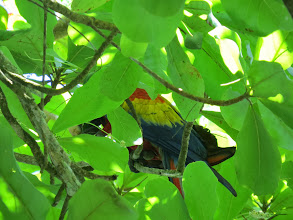 Photo: We saw the large scarlet macaws in cashew trees eating the nuts, but they were always on the top and difficult to photo.