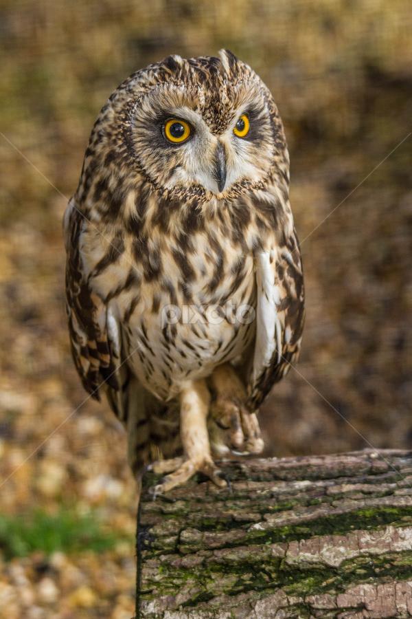 Owl by Garry Chisholm - Animals Birds ( raptor, bird of prey, nature, long eared owl, garry chisholm )