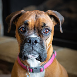Boxer Smile by Craig Lybbert - Animals - Dogs Portraits ( boxer, black mussel, collar, front view, brown, dog )