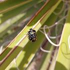 Harlequin Bug / Cabbage bug