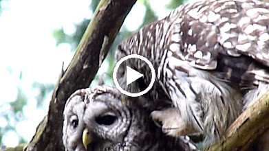 Video: Male gently grooming his mate. He needs to be careful with his sharp talons.