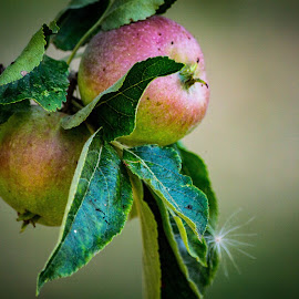 Apples by Vaska Grudeva - Food & Drink Fruits & Vegetables (  )