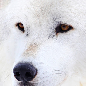 White as snow. by Brandi Nichols - Animals Other ( nature, wolf, wildlife, wolves )