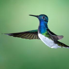 Dancing Hummer by Betty Arnold - Animals Birds ( bird, hummingbird, animal,  )