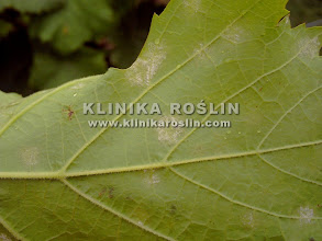 Photo: Początkowe objawy m. rzekomego - nalot na spodzie liścia