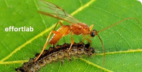 bau-rumput-potong-parasitoid