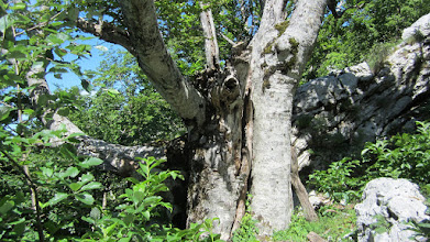 Photo: Neobično , debelo drvo