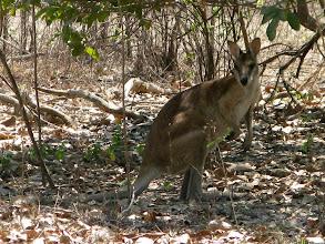 Photo: Kakadu NP - kangaroo disturbed by our bush walking/ vyrusena a zaskocena kengura (este nestacila odcupkat)