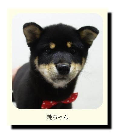 柴犬の純ちゃん