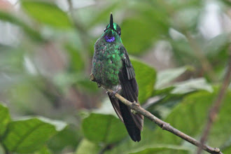 Photo: Green-crowned Brilliant