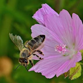Pracovitá včelka by Jiří Staško - Animals Insects & Spiders