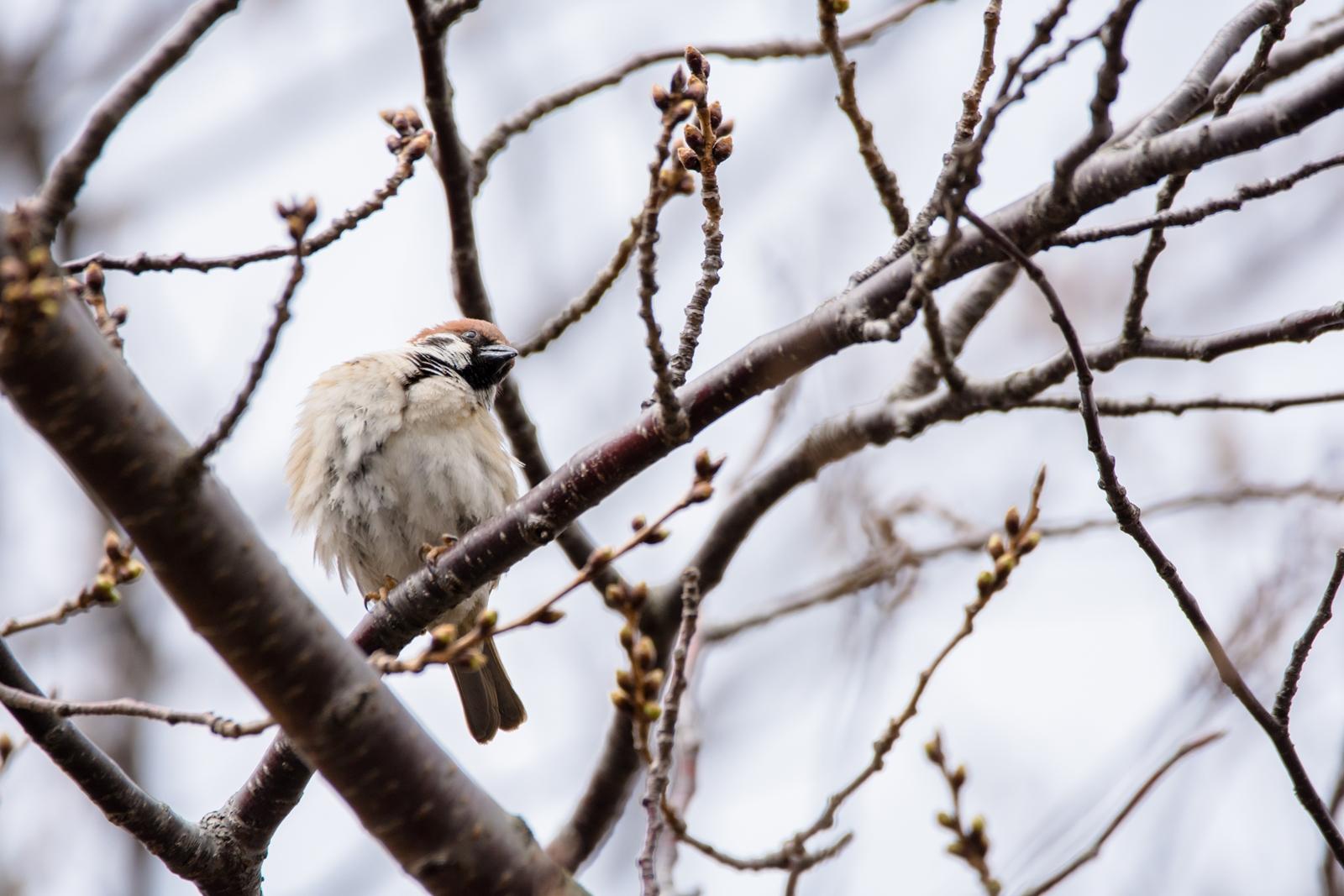 Photo: 「わくわくしてる」 / I can't wait.  ぷくぷく膨らむ ちいさな蕾たち まだ寒い日もあるけど 想像するだけで 気持ちがわくわく高鳴っていく  sparrow. (スズメ)  Nikon D7200 SIGMA 150-600mm F5-6.3 DG OS HSM Contemporary  #birdphotography #birds #kawaii #小鳥 #nikon #sigma #小鳥グラファー  ( http://takafumiooshio.com/archives/1217 )