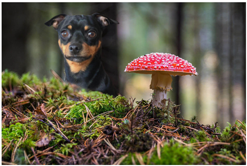 Can dogs eat Raw Mushrooms
