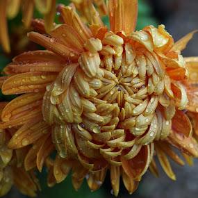 Autumn Colour - 2018 - 2 by Gillian James - Flowers Single Flower ( orange, rain, chrysanthemum, raindrops, flower )