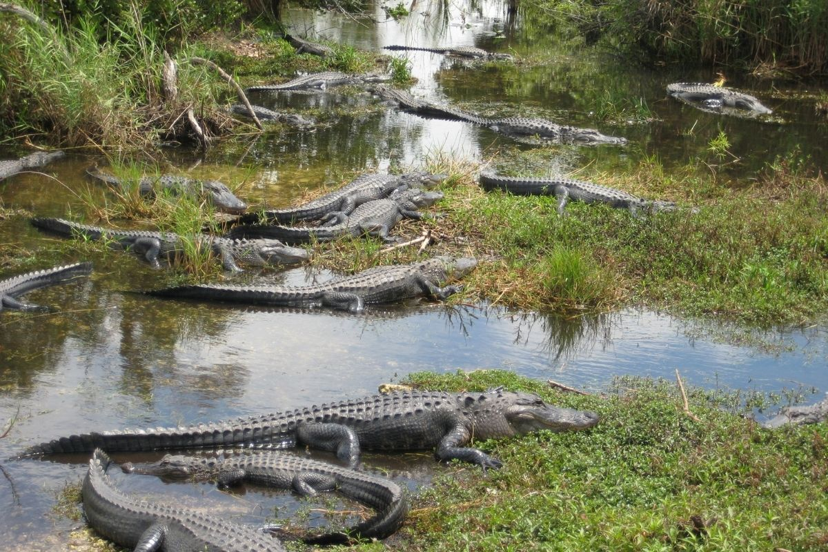 Alligators laying in the swamp at Everglades, a good cool-weather choice for best national parks to visit by month