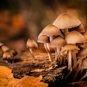 Fungi at Sunset by Mark Shoesmith - Nature Up Close Mushrooms & Fungi ( macro, stump, fungi, nature, woodland, leaves,  )
