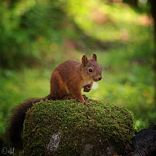 Photo: A Faint Whiff of Last Summer - A Red Squirrel on a Mossy Rock For #squirrelsaturday +Squirrel Saturdaycurated by +Beth Blackwell& +Skippy Sheeskin