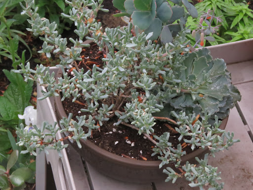 Mes petites plantes grasses et cactées - Page 2 V3FR15JtAYm0fZS3EeFAHsipIE-uXpWLxFKfWJEudgeGHHrvNjffBFs_R3XTH4uJethek5EmgSTYfKxZddhBqunMID3qgTH6m4CgE2EdhS_NyhVbcI1WG_7pjW3vFcTEk8uGvek