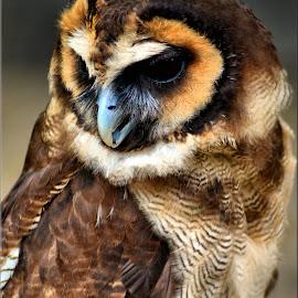 owl by Nic Scott - Animals Birds ( owl, bird,  )