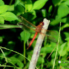 Autumn Meadowhawk (male)