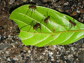 Photo: Tree cutter ants, collecting leaves to make compost!