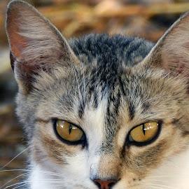 cat by Damir Kutleša - Animals - Cats Portraits ( animals, cat, pet, wildlife, domestic cat )