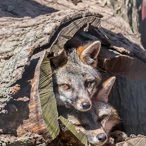 2 Fox by John Sinclair - Animals Other ( fox, nature, wildlife,  )