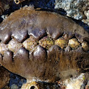 Leather chiton