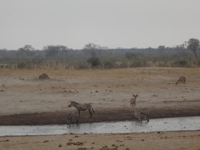 Photo: Zebras and kudu continue to drink.