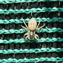 Menemerus spider