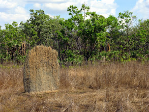 Photo: Magnetic termites build they Mounds really flat to avoid overheating.