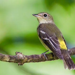 Yellow-Rumped Flycatcher by Eric Wang - Animals Birds