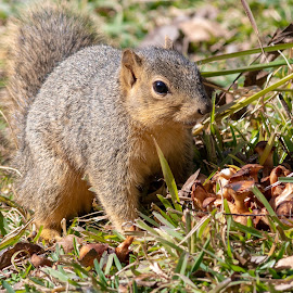 squirrel by Bert Templeton - Animals Other Mammals ( mushrooms, squirrel, grass, tree, texas, mushroom, fort worth, squirrels,  )