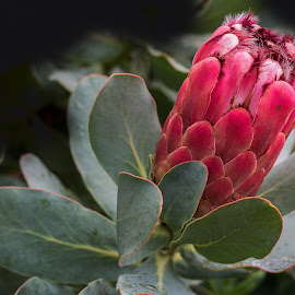 Protea. by Simon Page - Flowers Single Flower