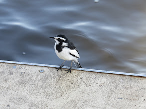 Photo: African pied wagtail