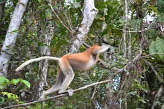 Photo: Proboscis Monkey