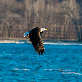 Take out dinner by Todd Wallarab - Animals Birds ( bird, water, bird of prey, eagle, fish, raptor, eat,  )