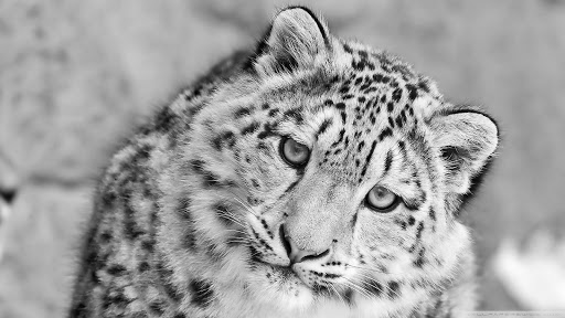 Snow Leopard HD Live Wallpaper