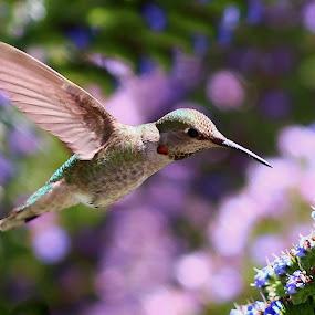 Hummingbird in Spring by Robin Rawlings Wechsler - Animals Birds