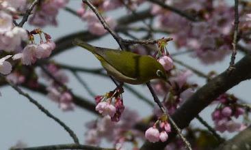 Photo: 桜にメジロ