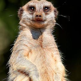 Meerkat 9964~ 1Q by Raphael RaCcoon - Animals Other Mammals