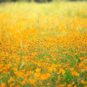 Yellow Fields 2 by Amory Godwin Grijaldo - Landscapes Prairies, Meadows & Fields