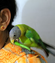 """Photo: Tottu-chan, a female parakeet eating green chili. She likes Mukhwas (digestive aid) and coriander leaves too. Nervous and versatile Tottu-chan was about to learn to say """"Namaste"""". I will try again next time I visit Akola :) 9th November updated -http://jp.asksiddhi.in/daily_detail.php?id=357"""