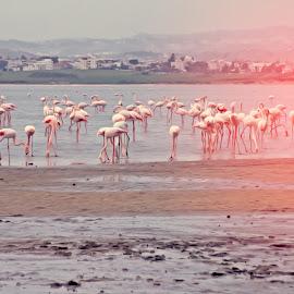 Flamingos by Florentina  Arvanitaki - Digital Art Animals ( flamingos )