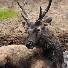 deer potrait by Venkat Krish - Animals Other ( #deer, #potrait, #zoo, #animal )
