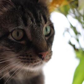 My Kramer  by Jen Powell Meyers - Animals - Cats Portraits