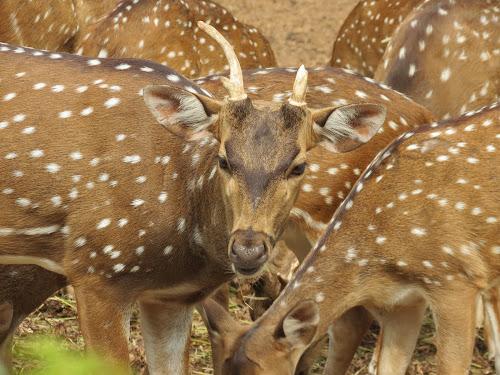 by Sayan Banerjee - Uncategorized All Uncategorized ( deer, chital )