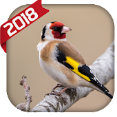 Goldfinch song