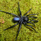 Mygalomorph spider